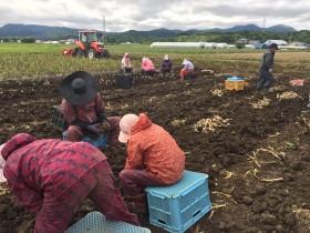 2016年甚作にんにく収穫2
