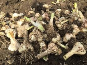2016年甚作にんにく収穫1