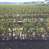 2015年収穫風景1